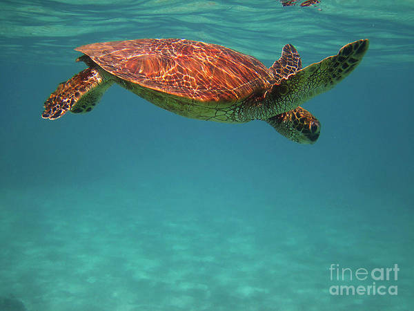 Photograph - Honu On The Surface by Bette Phelan