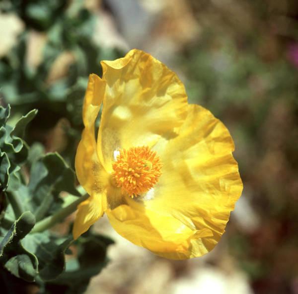 Photograph - Horned Poppy by Paul Cowan