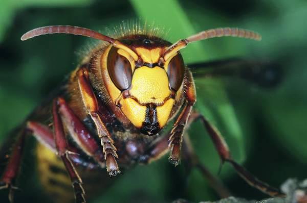 European Hornet Photograph - Hornet Head by Colin Varndell