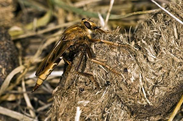 European Hornet Photograph - Hornet Robber Fly by Paul Harcourt Davies