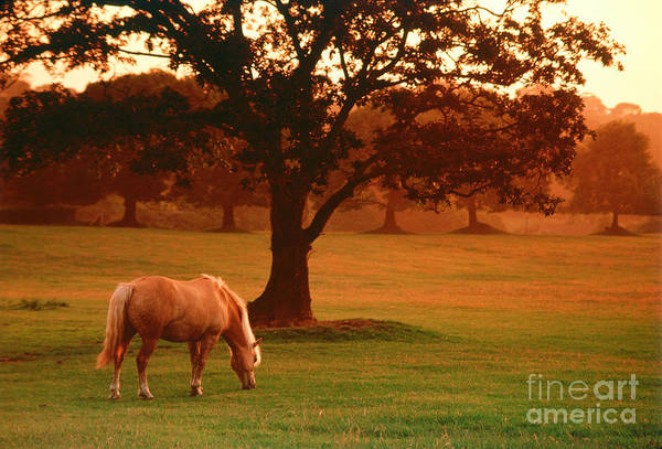 Photograph - Horse by Carl Purcell and Photo Researchers