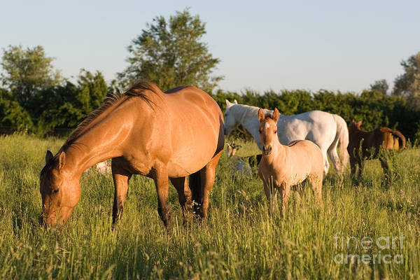 Photograph - Horses In Green Grassy Pasture by Cindy Singleton