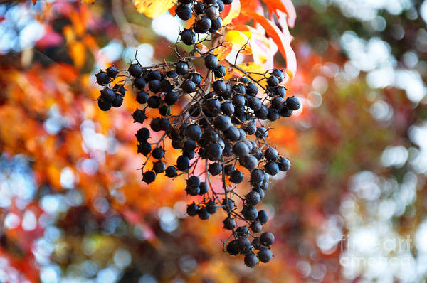 Wall Art - Photograph - Hot Autumn Berry 2 by Affini Woodley