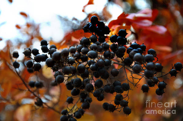 Wall Art - Photograph - Hot Autumn Berry by Affini Woodley