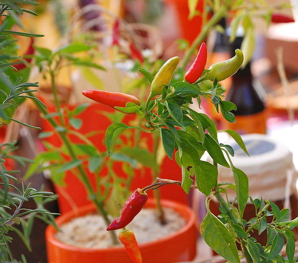 Photograph - Hot Peppers by Mary McAvoy