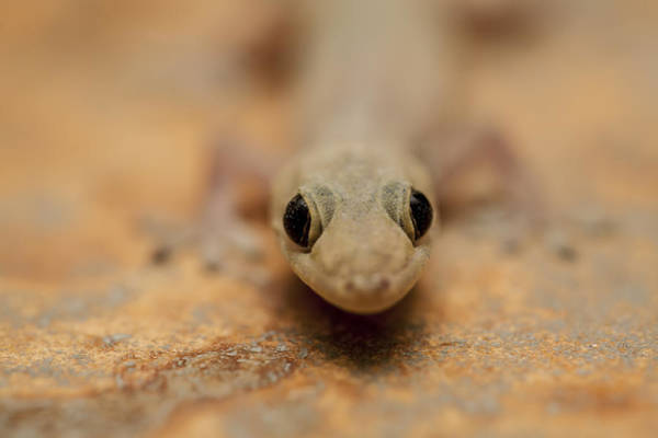 Wall Art - Photograph - House Gecko by Mike Raabe