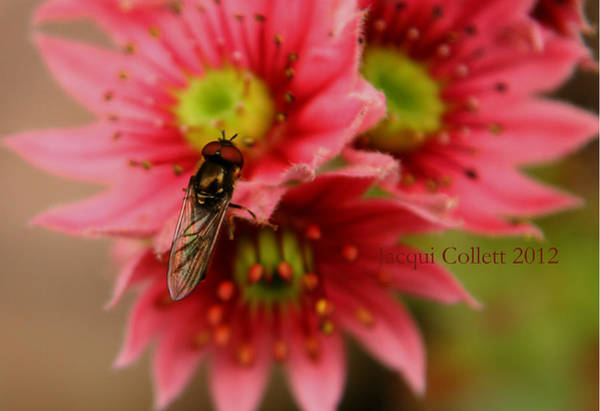 Photograph - Hover Fly II by Jacqui Collett