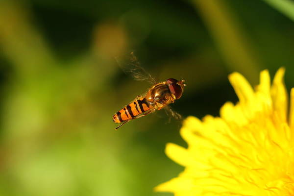 Photograph - Hover Fly by Jacqui Collett