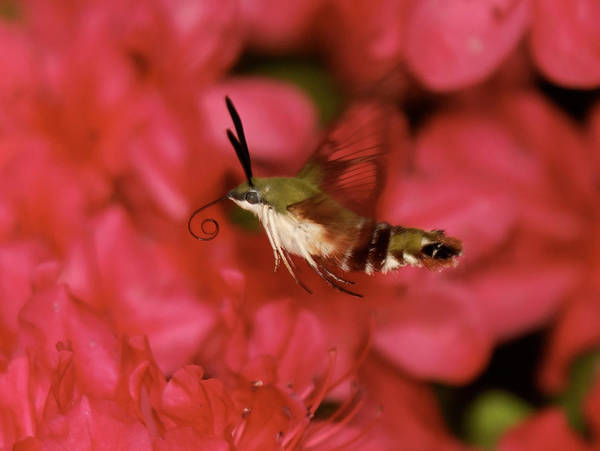 Photograph - Hovering Clearwing Hummingbird Moth by Lara Ellis