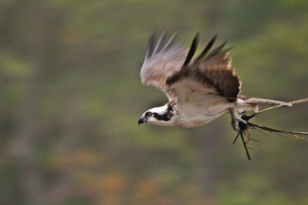 Wall Art - Photograph - How To Build A Nest by DK Hawk