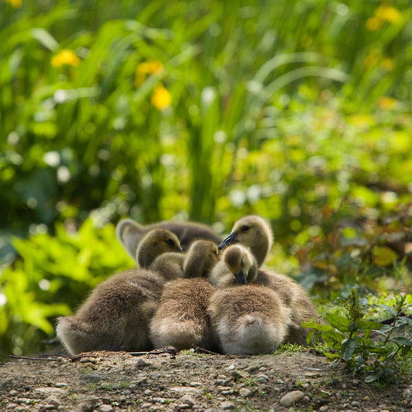 Wall Art - Photograph - Huddled Goslings Baby Geese Along River's Edge by Stephanie McDowell