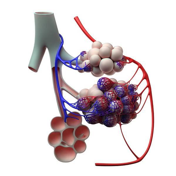 Pipe Organ Digital Art - Human Alveoli, Artwork by Sciepro