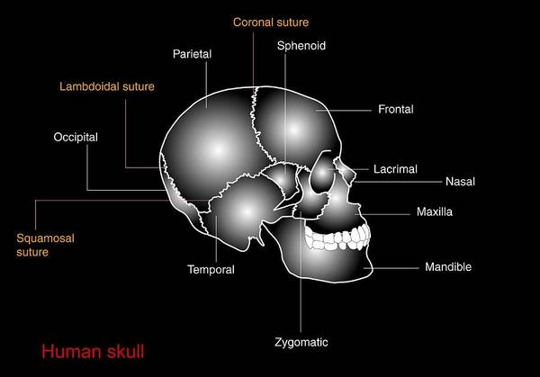 Temporal Bone Wall Art - Photograph - Human Skull Anatomy, Diagram by Francis Leroy, Biocosmos