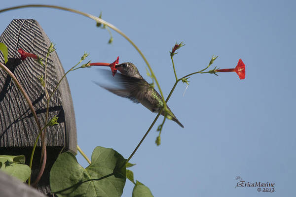 Photograph - Hummer by Ericamaxine Price