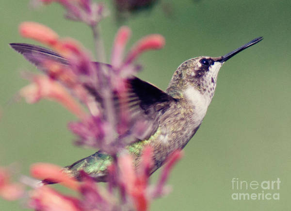 Photograph - Humming Bird by Pam  Holdsworth