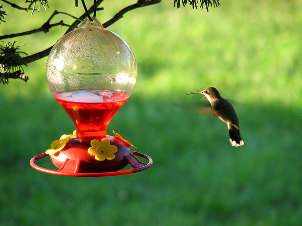 Photograph - Hummingbird At The Feeder by Rick Wicker