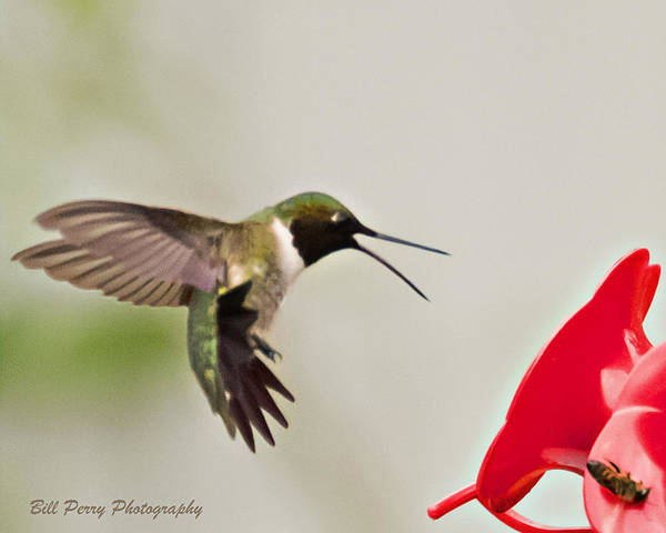 Wall Art - Photograph - Hummingbird Attacking Bee by Bill Perry