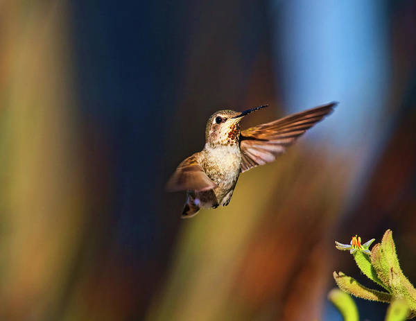 Photograph - Hummingbird by Beth Sargent