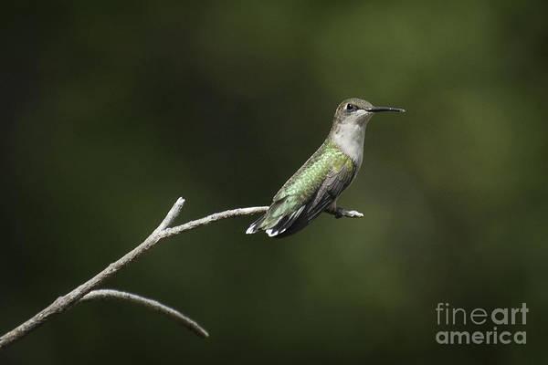 Photograph - Hummingbird IIi by David Waldrop