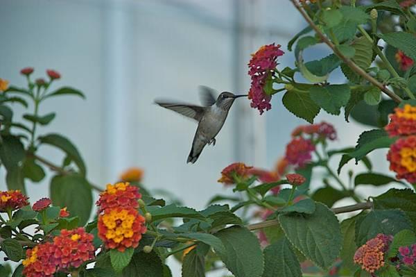Photograph - Hummingbird by Joseph Yarbrough
