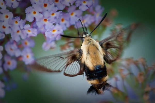 Photograph - Hummingbird Moth by Craig Leaper