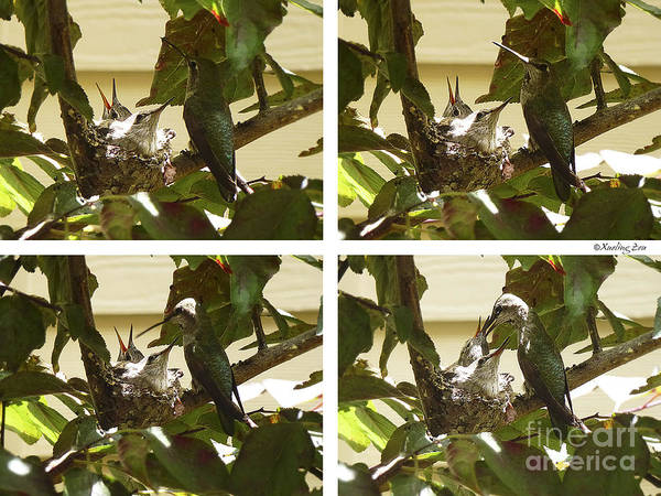 Photograph - Hummingbird Mother Feeding Her Two Babies by Xueling Zou