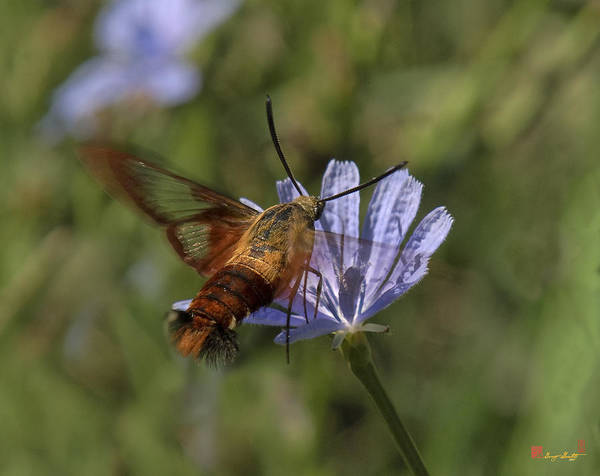 Photograph - Hummingbird Or Clearwing Moth Din137 by Gerry Gantt