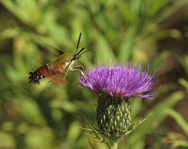 Photograph - Hummingbird Or Clearwing Moth Din141 by Gerry Gantt