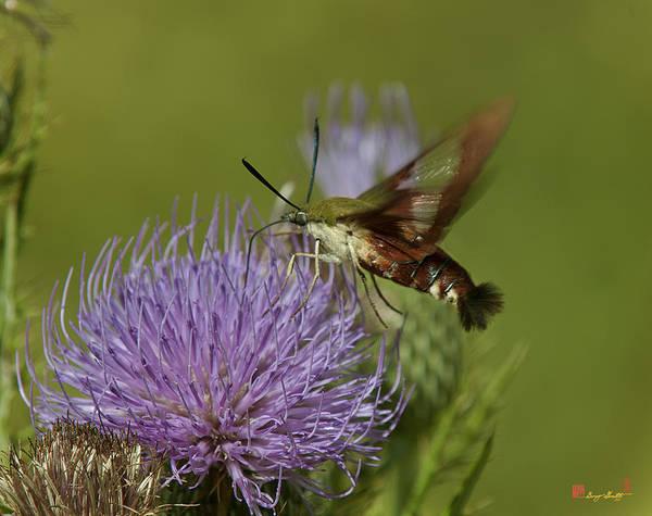 Hemaris Photograph - Hummingbird Or Clearwing Moth Din178 by Gerry Gantt