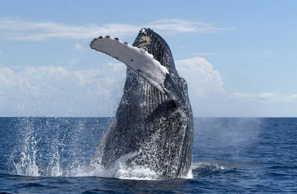 Photograph - Humpback Whale Breaching Maui Hawaii by Flip Nicklin