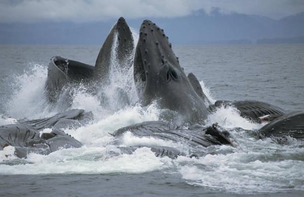 Photograph - Humpback Whale Cooperative Gulp Feeding by Flip Nicklin