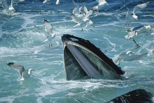 Photograph - Humpback Whale Feeding With Herring by Flip Nicklin