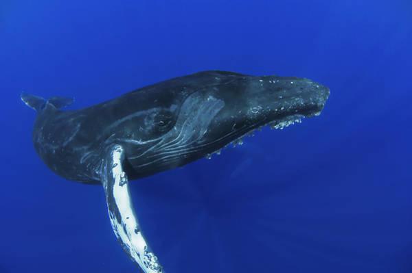 Photograph - Humpback Whale  Maui Hawaii by Flip Nicklin