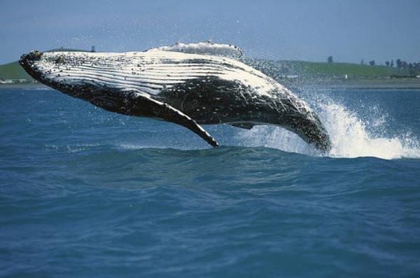 Photograph - Humpback Whale Megaptera Novaeangliae by Barbara Todd