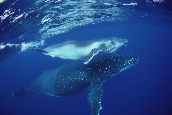 Photograph - Humpback Whale Mother And Calf Tonga by Flip Nicklin