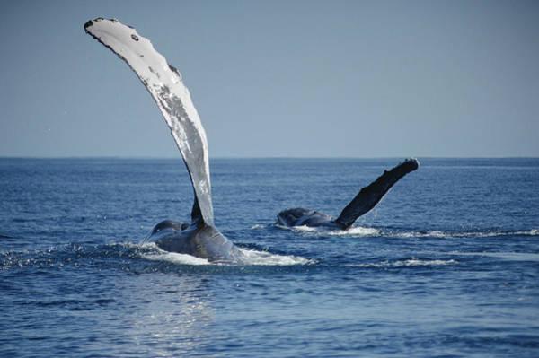 Whale Photograph - Humpback Whale Pectoral Slap Maui by Flip Nicklin