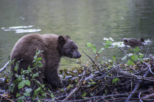 Bear Creek Photograph - Hungry Bear by Brad Scott