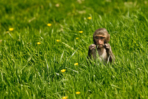 Monkey Flower Wall Art - Photograph - Hungry Monkey by Justin Albrecht