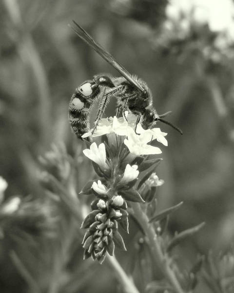 Hunter Wasp On Heliotrope Art Print