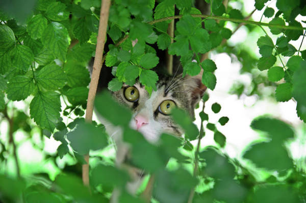 Photograph - Hunting Cat by Michael Goyberg