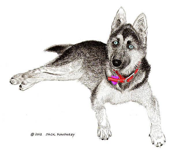 German Shepherd Drawing - Husky With Blue Eyes And Red Collar by Jack Pumphrey