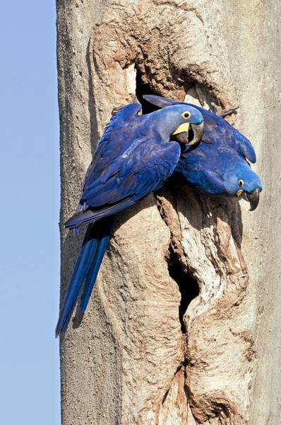 Hyacinth Macaw Photograph - Hyacinth Macaws by Tony Camacho