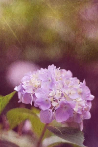 Hydrangea Photograph - Hydrangea by Amy Tyler