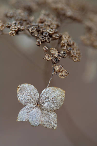 Photograph - Hydrangea Arborescens Dry Flower Head In Winter by Daniel Reed