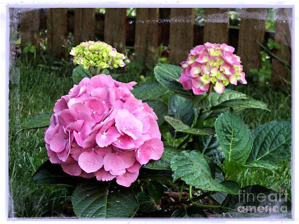 Photograph - Hydrangeas by Paulette B Wright