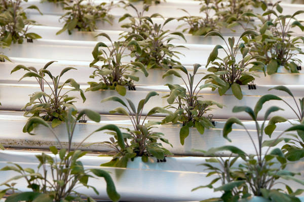 Northumbria Photograph - Hydroponic Cultivation Of Sage Plants by Dilston Physic Gardencolin Cuthbert
