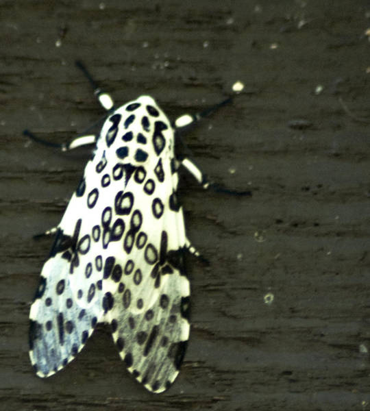 Photograph - Hypercompe Scribonia  Great Leopard Moth by Wade Clark