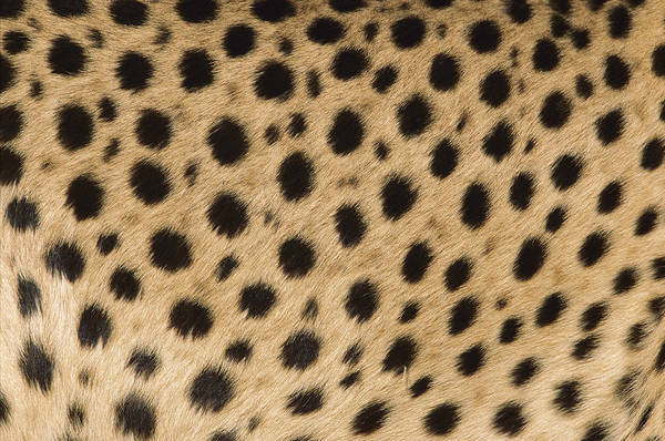 Photograph - I See Cheetah Spots by Ingo Arndt