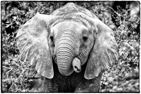 Photograph - I Think My Trunk Is Too Flexible by Perla Copernik