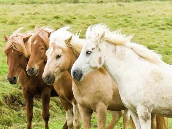 Photograph - Iceland Ponies by David Blaikie